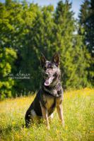 Wurfankündigung - dt. Schäferhund Welpen, gerade Rückenlinie