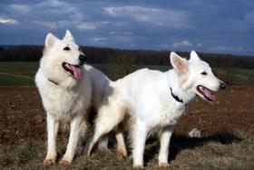 Foto 2 Wurferwartung reinrassige Weiße Schäferhund Welpen mit Papiere