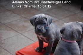 Foto 2 Wurfmeldung! Alanos vom Braunschweiger Land