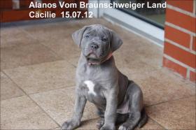 Foto 4 Wurfmeldung! Alanos vom Braunschweiger Land