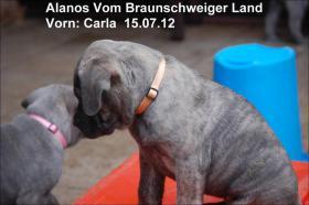 Foto 5 Wurfmeldung! Alanos vom Braunschweiger Land