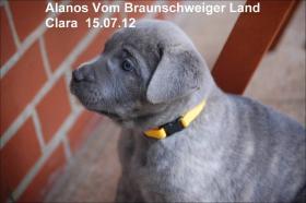 Foto 7 Wurfmeldung! Alanos vom Braunschweiger Land