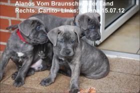 Foto 8 Wurfmeldung! Alanos vom Braunschweiger Land