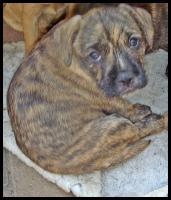 Foto 2 Wuschelig werdende Französische Bulldogge Terrier Edel Mix