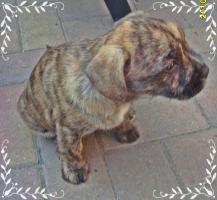 Foto 4 Wuschelig werdende Französische Bulldogge Terrier Edel Mix