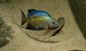 Foto 2 Xenothilapia, Cyantopharnyx, Cyprichromis