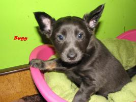 Foto 5 Xoloitzquintle - mexikanische Hund mit Ahnentafel