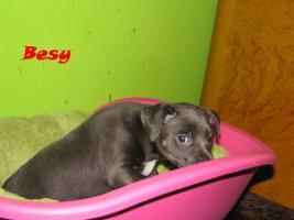 Foto 6 Xoloitzquintle - mexikanische Hund mit Ahnentafel
