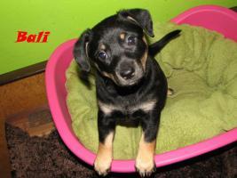Foto 7 Xoloitzquintle - mexikanische Hund mit Ahnentafel