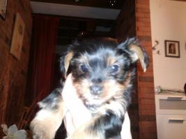 Foto 2 Yokshire Terrier Welpen