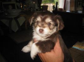 Yorkie-Chihuahua Welpen