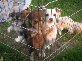 Foto 4 Yorkie-Chihuahua Welpen