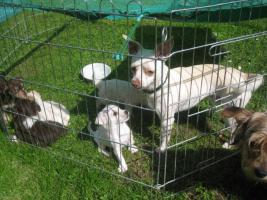 Foto 9 Yorkie-Chihuahua Welpen