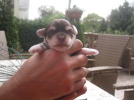 Foto 12 Yorkie-Chihuahua Welpen