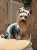 Yorkshir Terrier Deckrüde Blue and Tan (kein Verkauf)