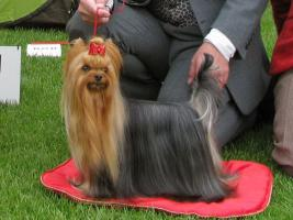 Yorkshire Terrier Exlusive
