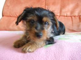 Foto 2 Yorkshire Terrier Welpe