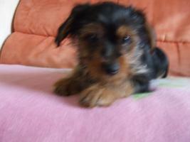 Foto 3 Yorkshire Terrier Welpe