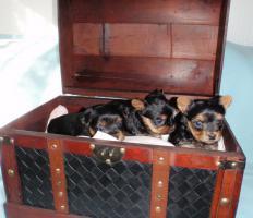 Foto 3 Yorkshire-Terrier-Welpen