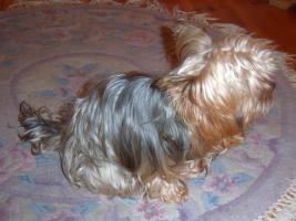 Foto 3 Yorkshire Terrier Welpen Rüden