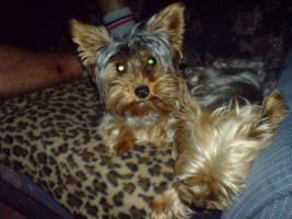 Foto 4 Yorkshire Terrier Welpen Rüden