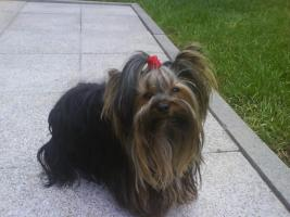 Foto 3 Yorkshire Terrier Welpen black and tan
