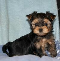 Foto 5 Yorkshire Terrier Welpen black and tan