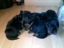 Foto 2 Yorkshire Terrier Welpen in gute Hände zu verkaufen