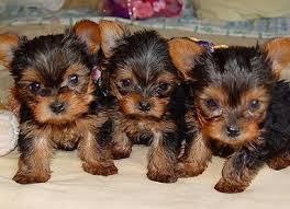 Foto 2 Yorkshire Terrier Welpen zu verkaufen