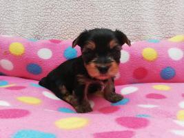 Foto 4 Yorkshire Terrier, Welpen MINI BABY FACE