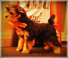 Foto 5 Yorkshire Terriers for sale beautiful babies