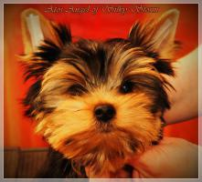 Foto 6 Yorkshire Terriers for sale beautiful babies