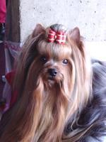 Yorkshire terrier Welpen aus seriösen Zücht