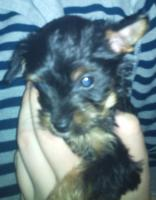 Foto 3 Yorky Baby