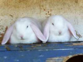 Foto 4 Zahme Zwergwidder und Rassemeerschweinchen