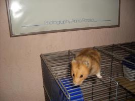 Zahmer Goldhamster
