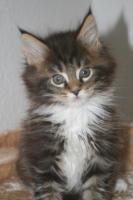 Foto 2 Zauberhafte Maine Coon Kitten