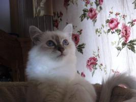 Zauberhafte hl. Birma - Kitten