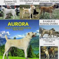 Foto 2 Zentralasiatischen Owtscharka Welpen zum Verkauf