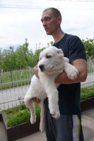 Foto 5 Zentralasiatischer Ovtcharka Welpen zu verkaufen