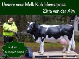 Foto 2 Zitta von der Alm - als Melkkuh - zum aufsitzen bis 130kg