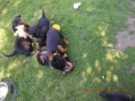 Zu vergeben Welpen RTW – Rottweiler