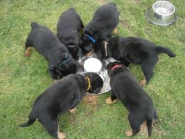 Foto 2 Zu vergeben Welpen RTW – Rottweiler
