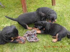 Foto 3 Zu vergeben Welpen RTW – Rottweiler