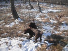 Foto 2 Zu verkaufen 2 Rüden Labrador Retriever in Farbe schokolade