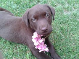 Foto 3 Zu verkaufen 2 Rüden Labrador Retriever in Farbe schokolade