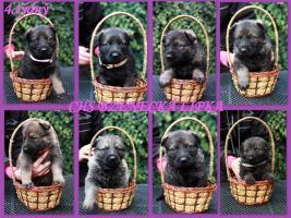 Zu verkaufen Welpen Deutscher Schäferhund mit Papiere