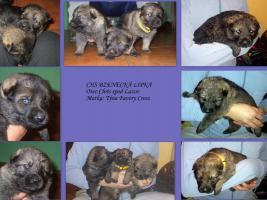 Foto 2 Zu verkaufen Welpen Deutscher Schäferhund mit Papiere
