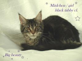 Zuchtaufgabe!!!!!!!!! Maine Coon Kitten