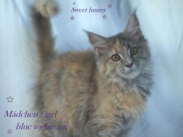 Foto 5 Zuchtaufgabe!!!!!!!!! Maine Coon Kitten